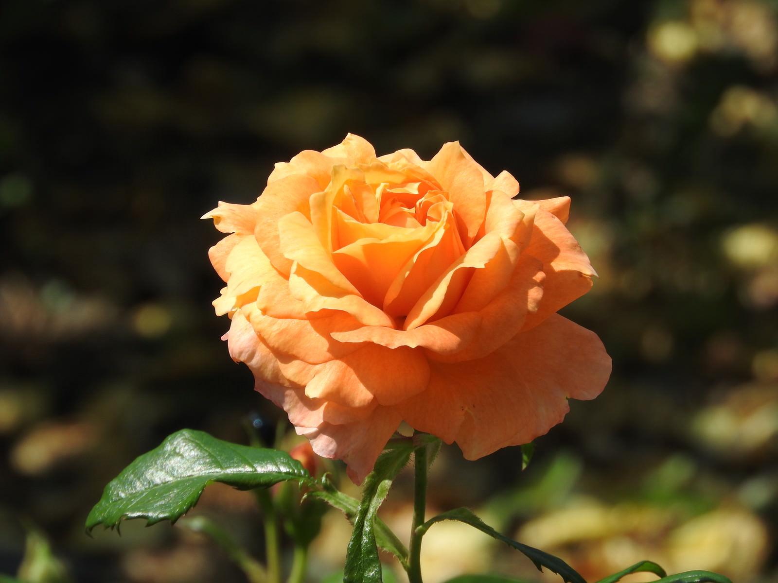 「開花したオレンジ色の薔薇」の写真