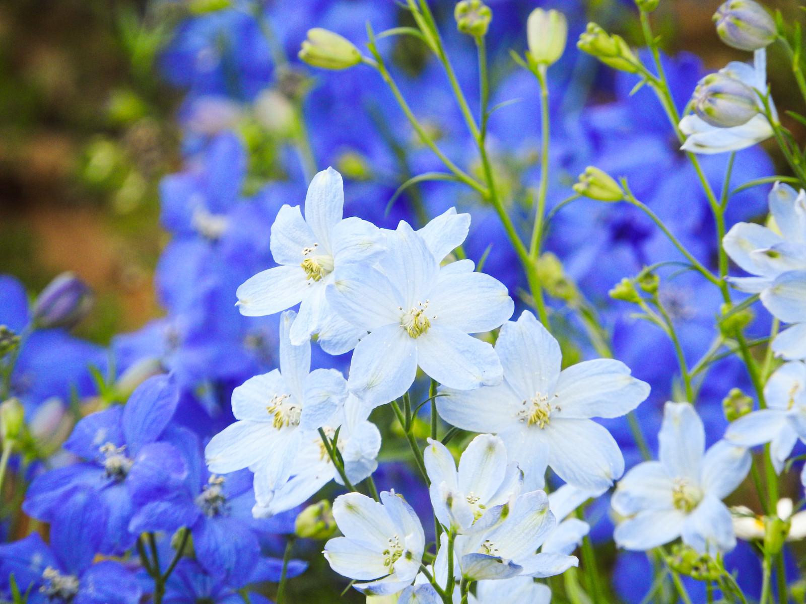 「広がるデルフィニウムの花びら」の写真
