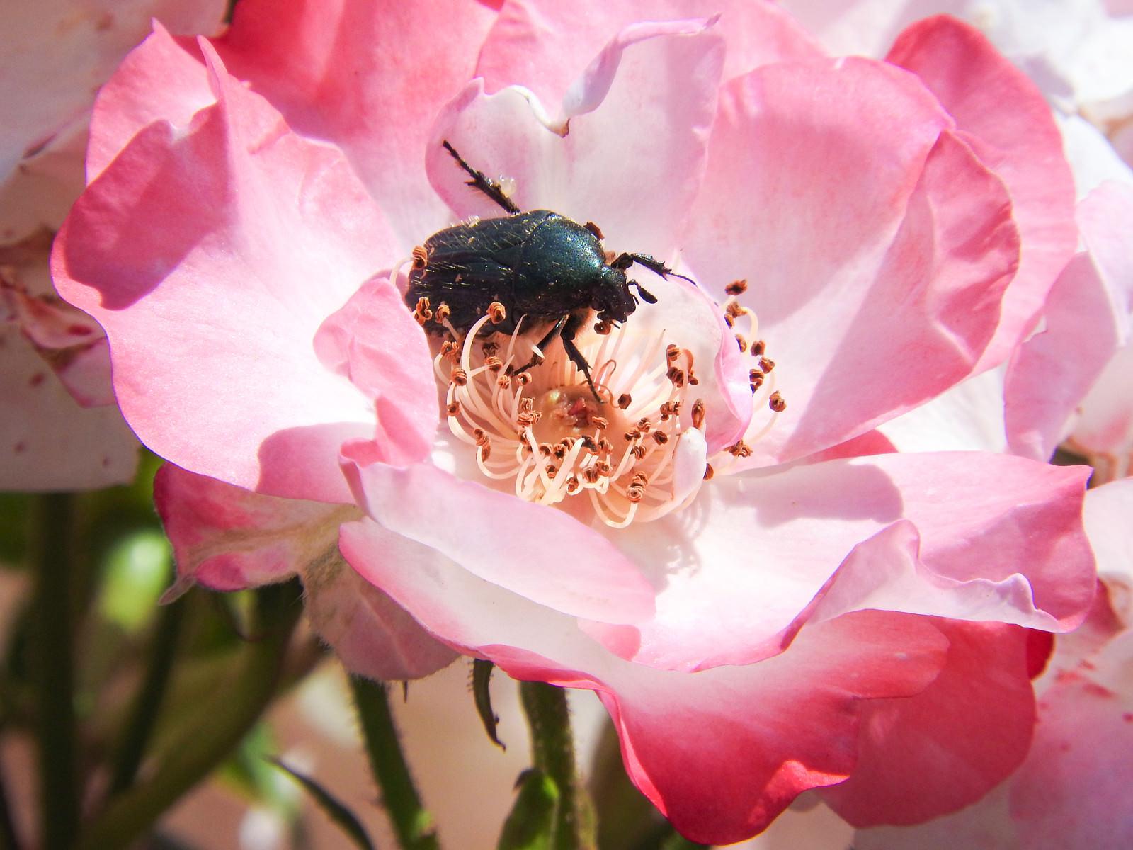 「蜜を吸いにやってきたハナムグリ(昆虫)」の写真