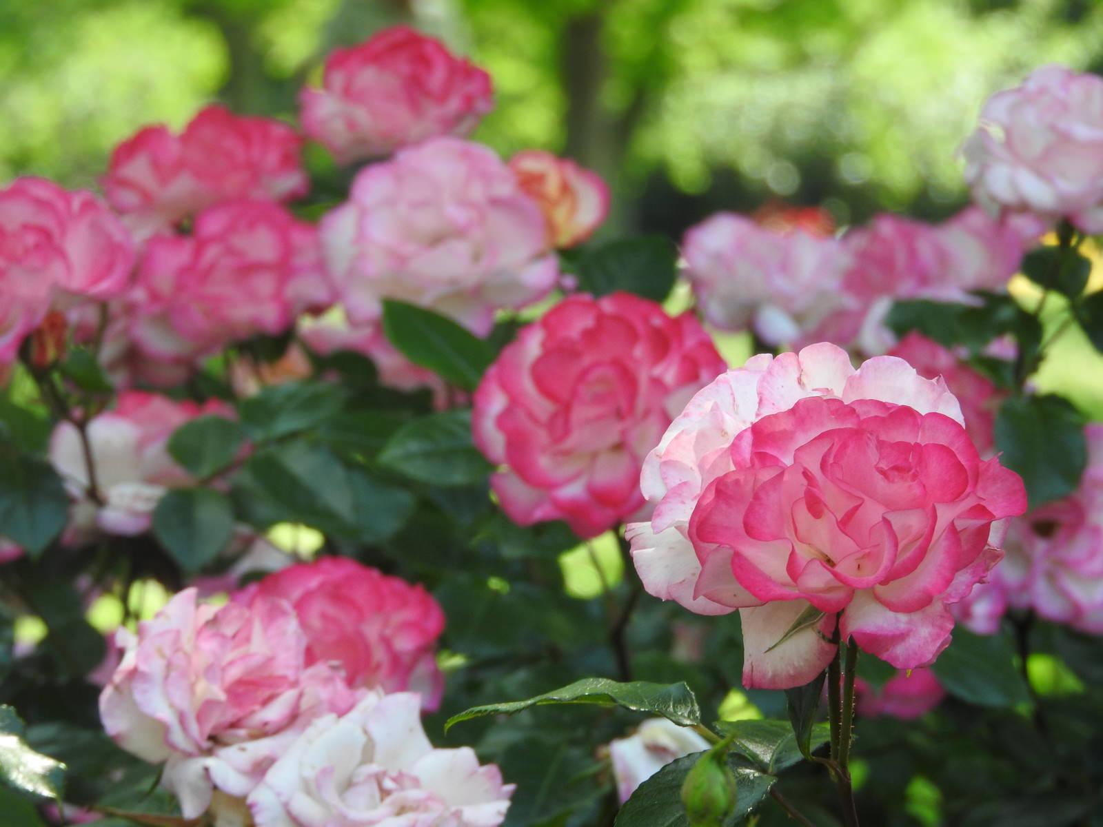 「バラ(ストロベリーアイス)」の写真