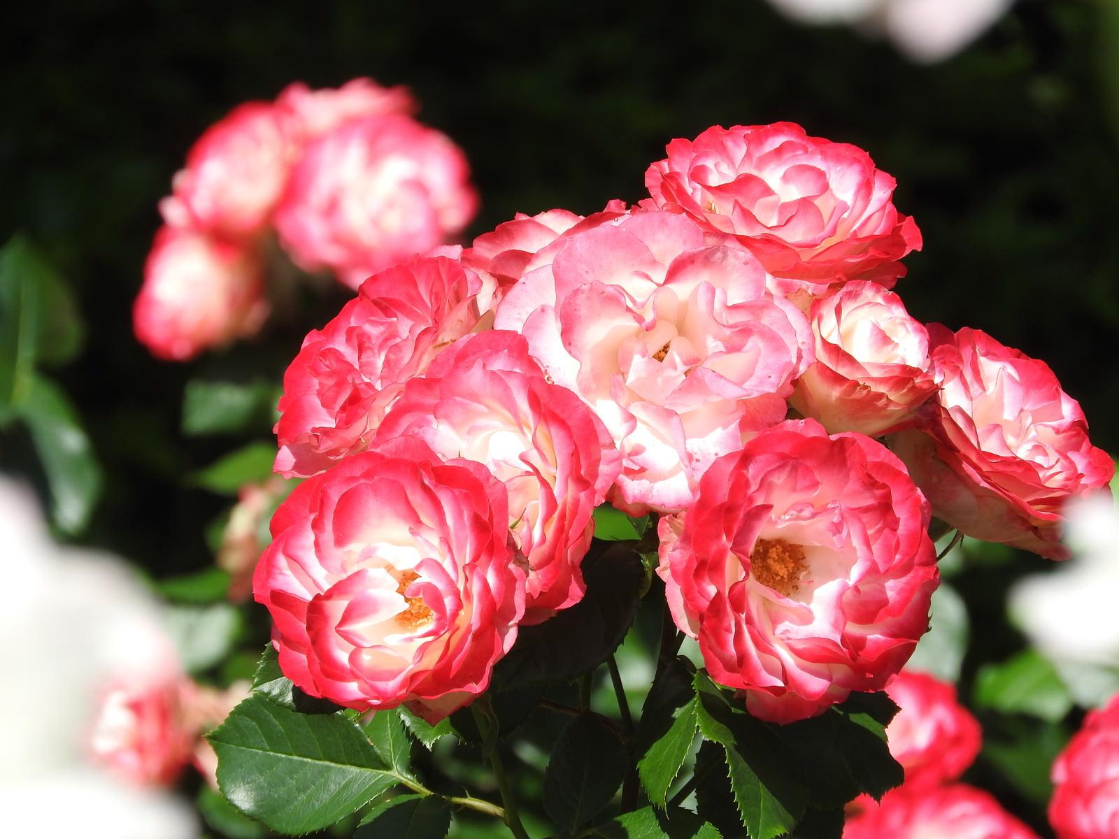 「ピンク薔薇の花」の写真