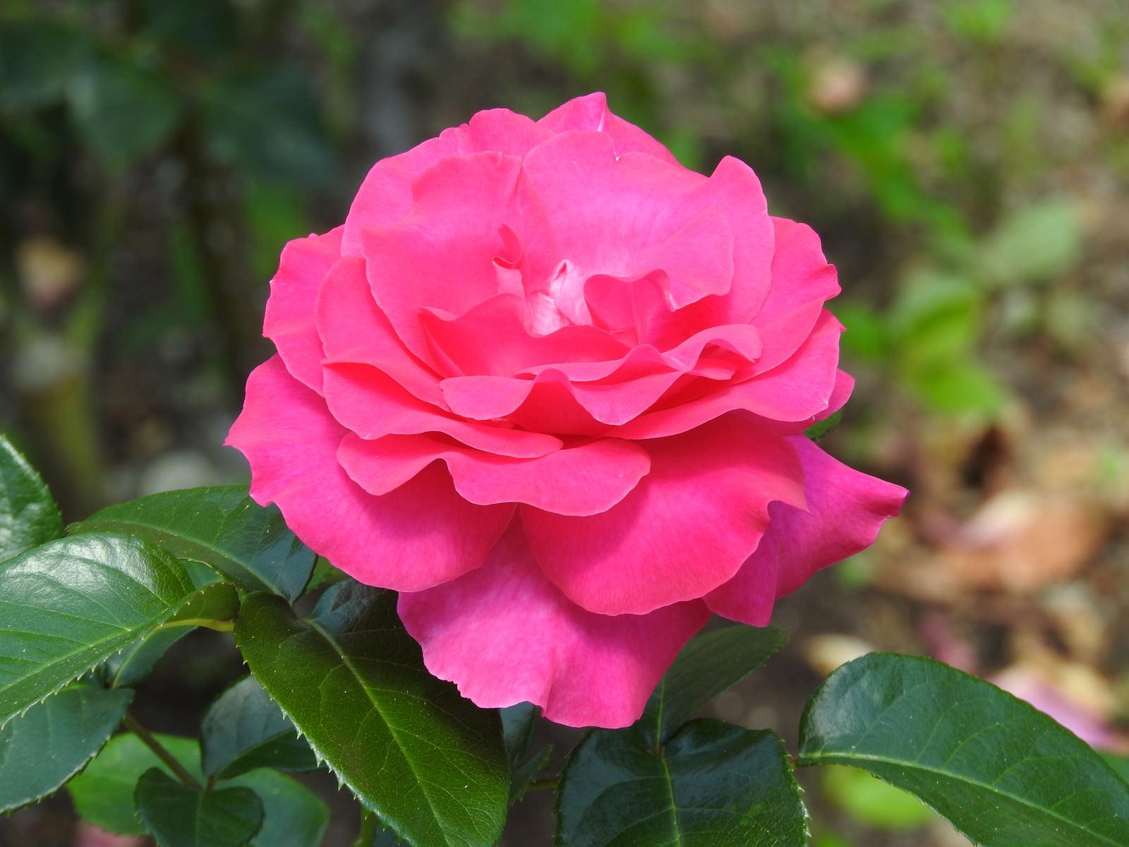 「ピンクの薔薇」の写真
