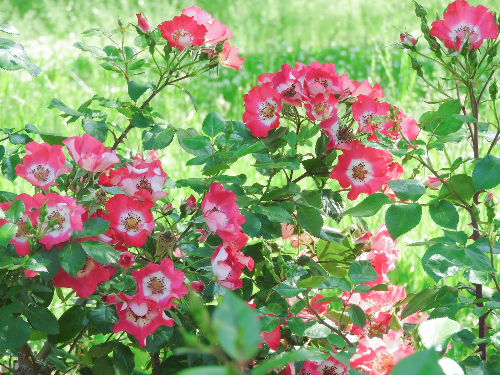 「鮮やかな一重の赤い薔薇」の写真