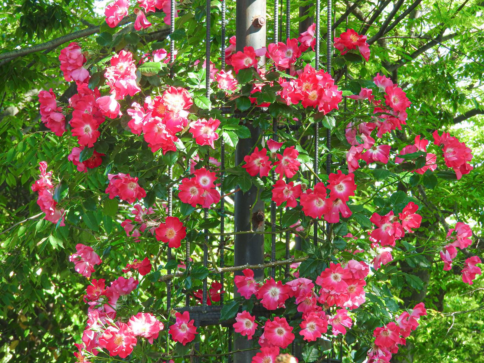 「円を作るように咲き誇る蔓バラ(ドルトムント)」の写真