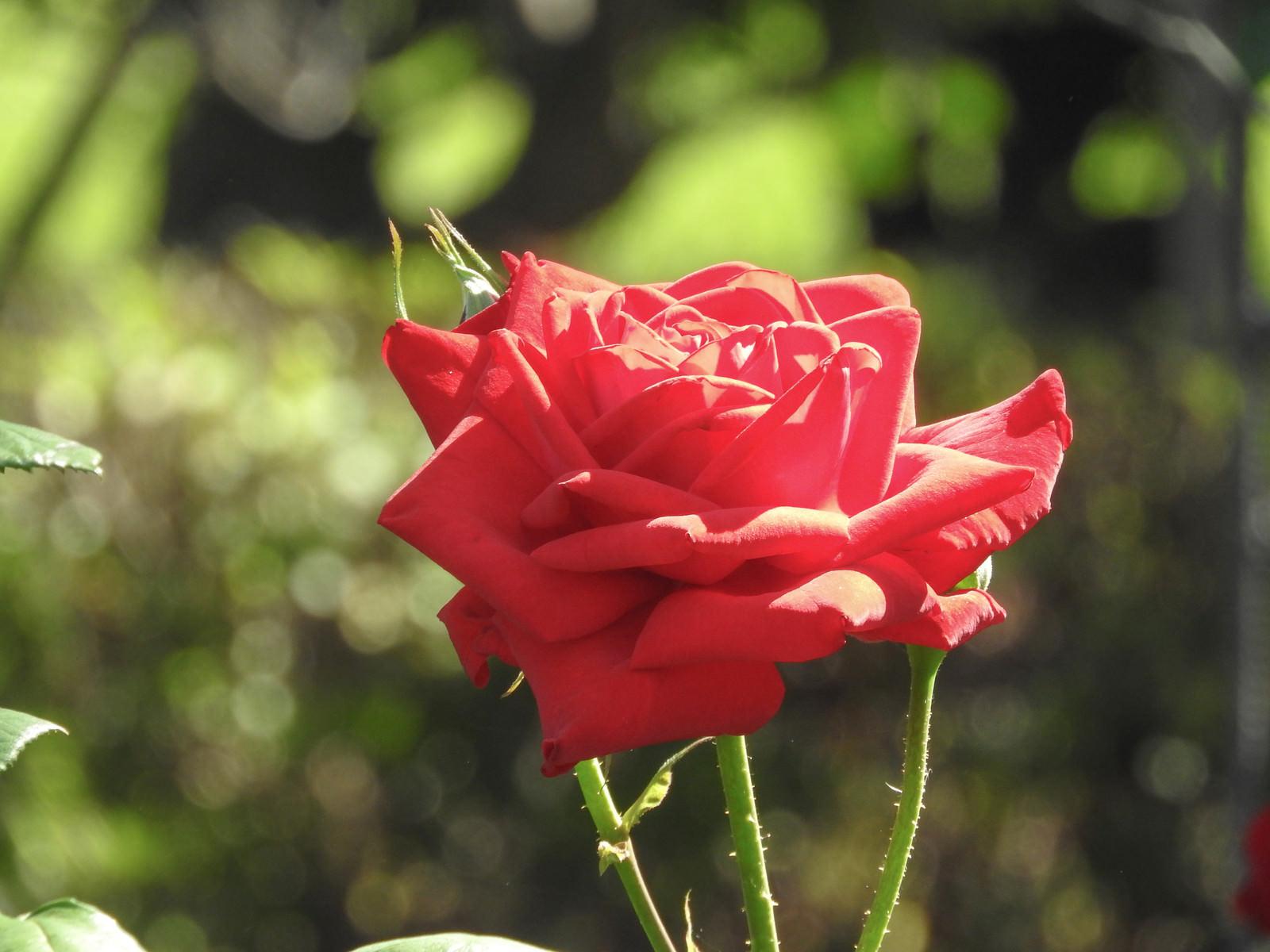 「日を浴びる薔薇」の写真