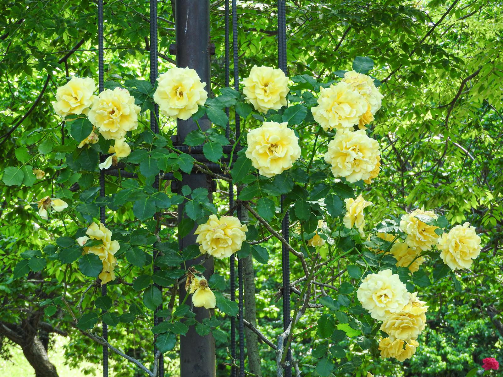 「黄色い蔓バラ」の写真