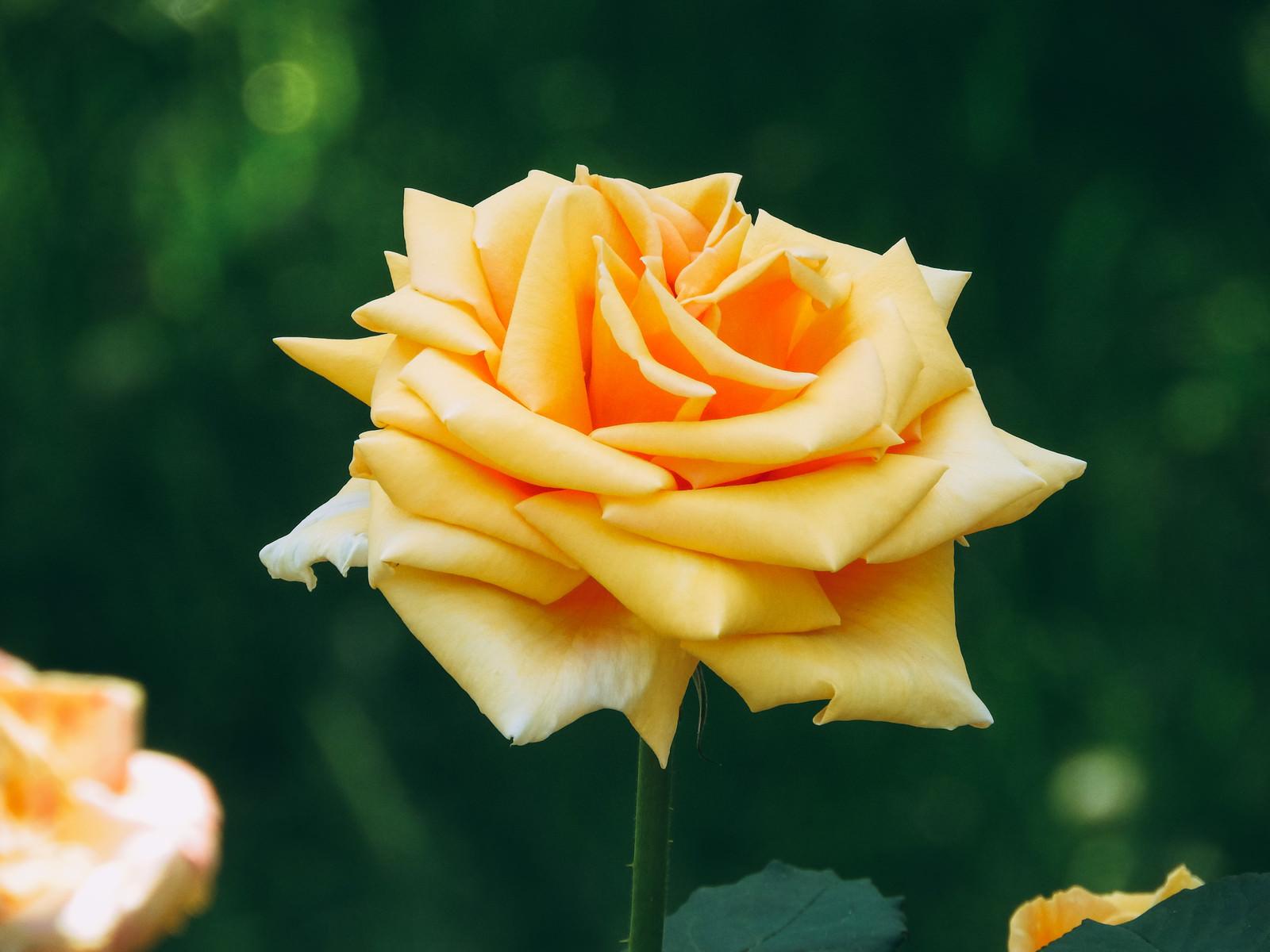 「形の良い黄色い薔薇の花」の写真
