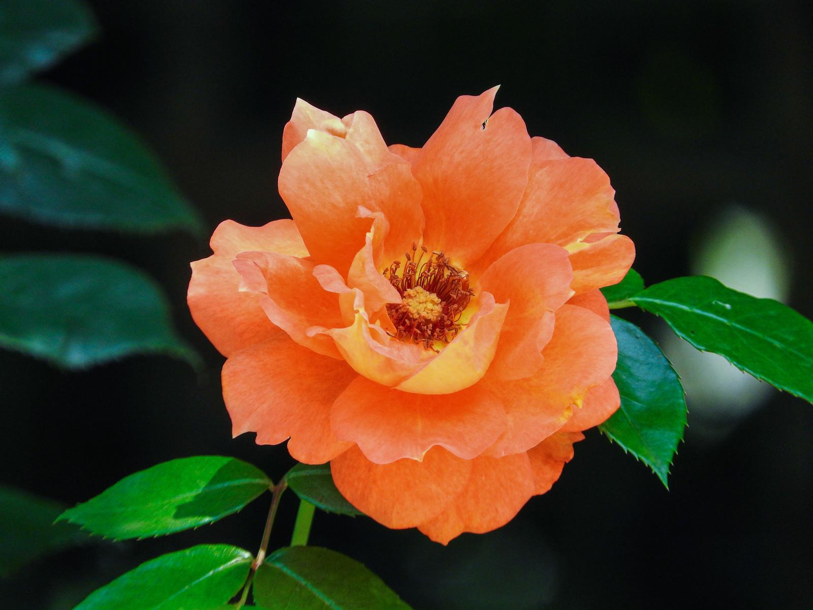 「オレンジ色の薔薇」の写真
