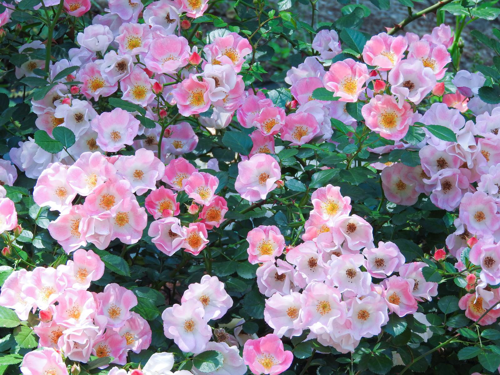 「ピンク一重の薔薇(バラ科)」の写真