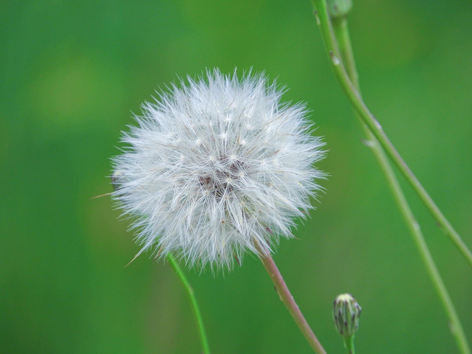 「たんぽぽの綿毛」の写真