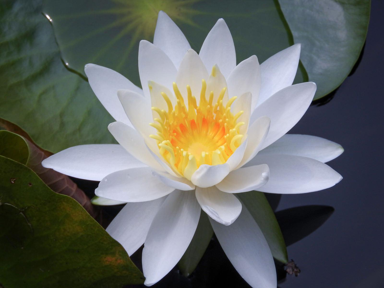 「睡蓮の花(スイレン)」の写真
