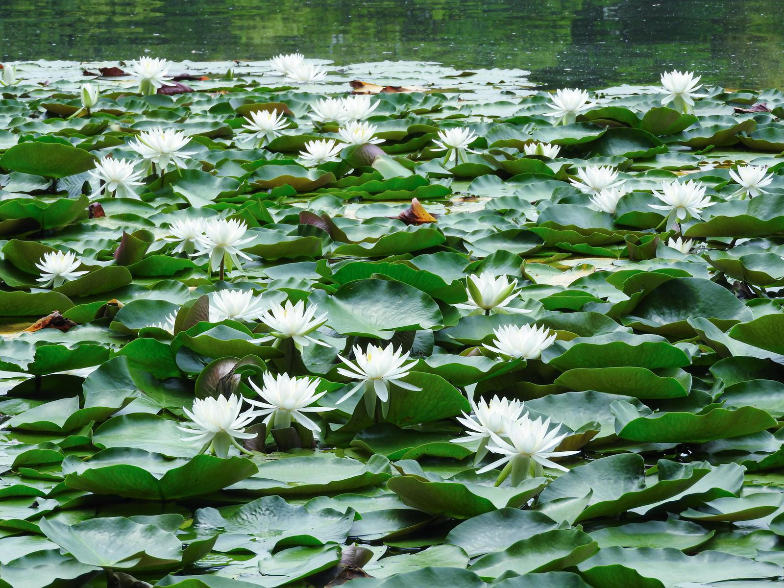 「池に咲く睡蓮」の写真