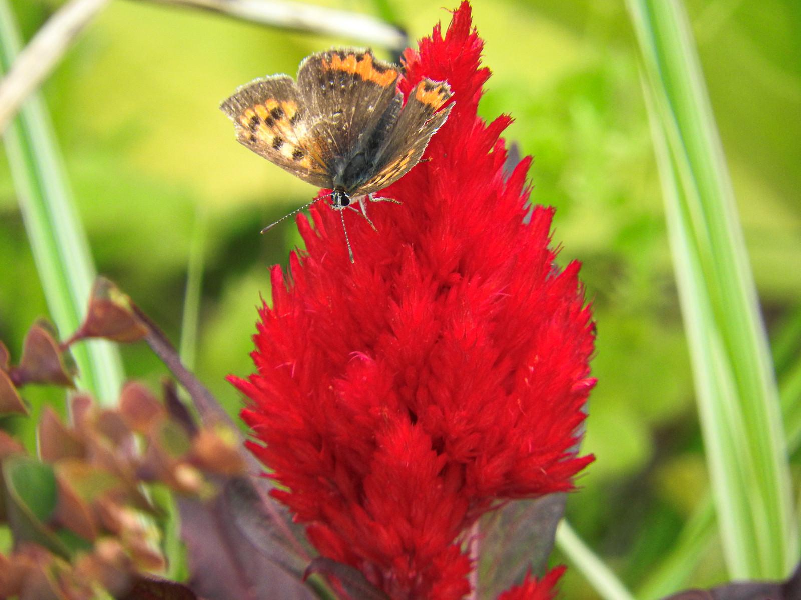 「ヤリゲイトウと蝶」の写真