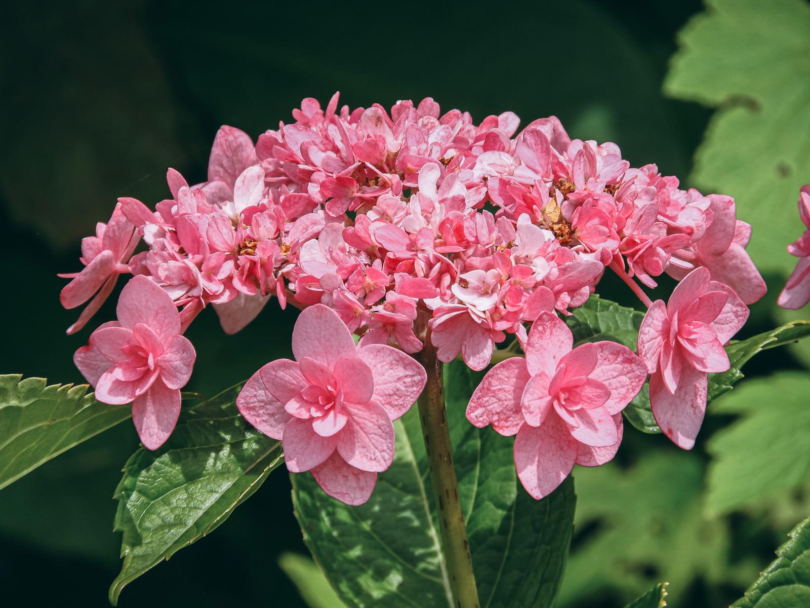「八重咲のアジサイ」の写真