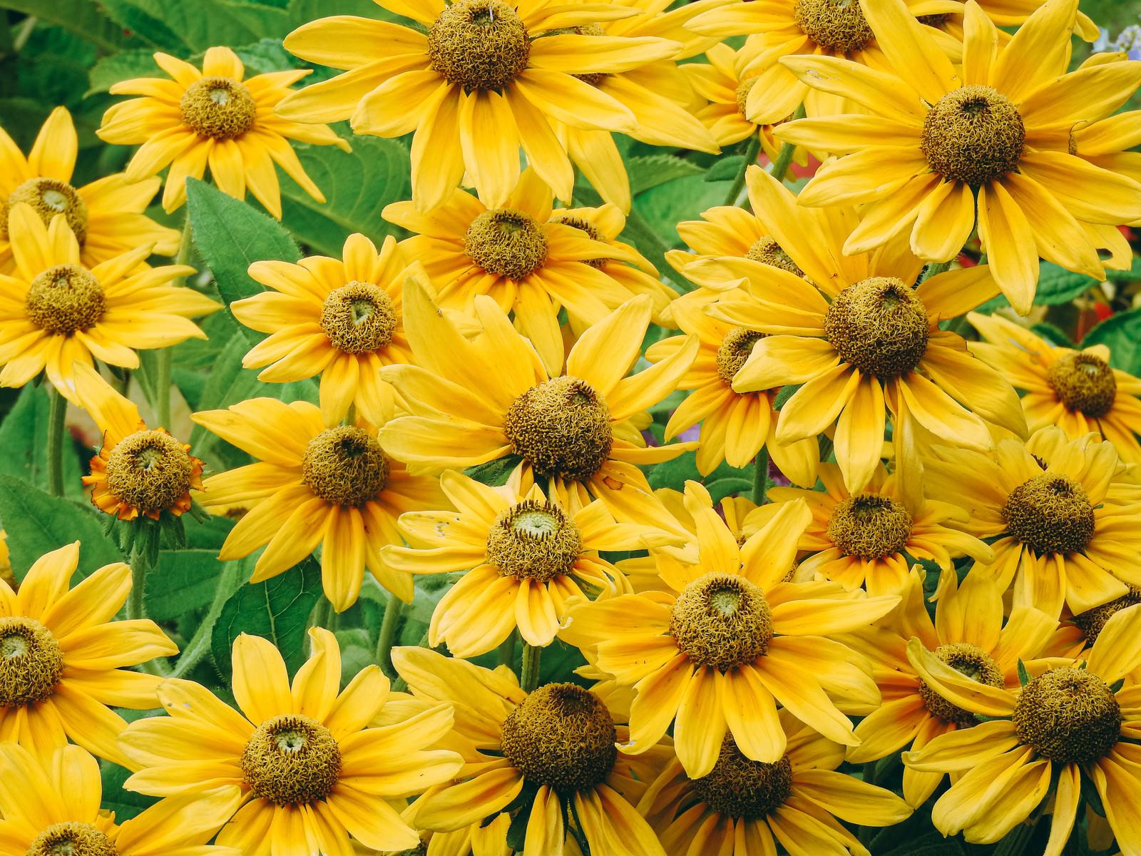 「ルドベキア・プレーリーサンの花」の写真