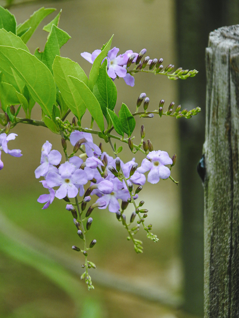 「開花始めたデュランタ」の写真