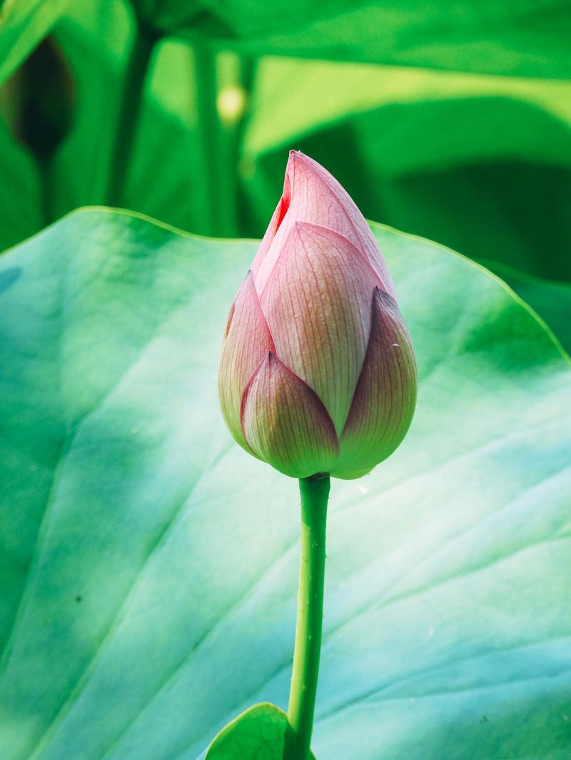 「開花を待つ蓮のつぼみ」の写真