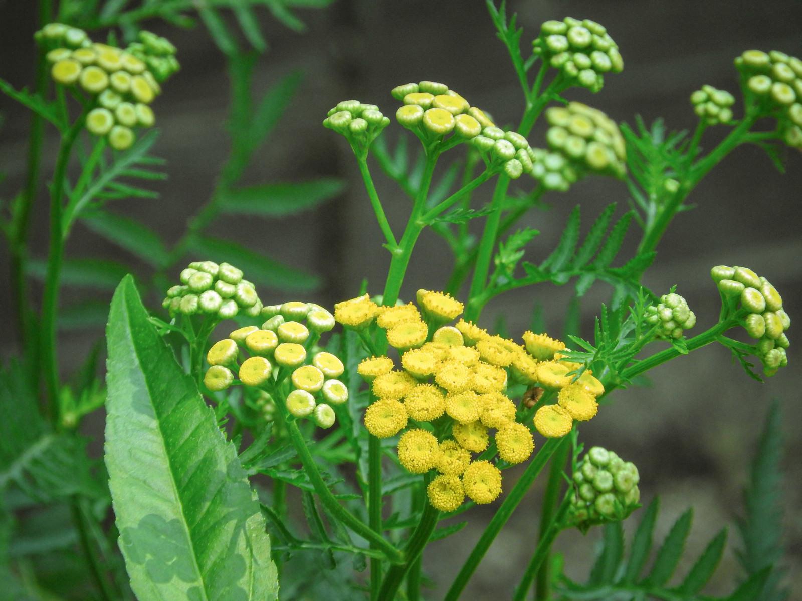 「小粒の花を咲かせるタンジー」の写真