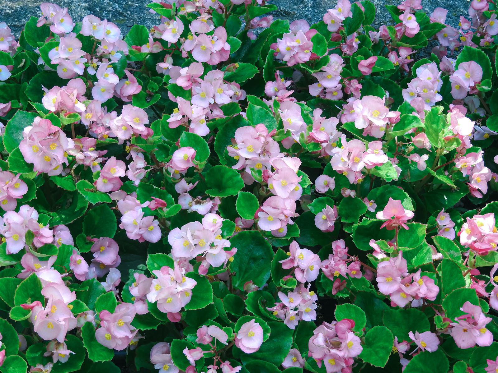 「淡いピンクのベゴニア」の写真