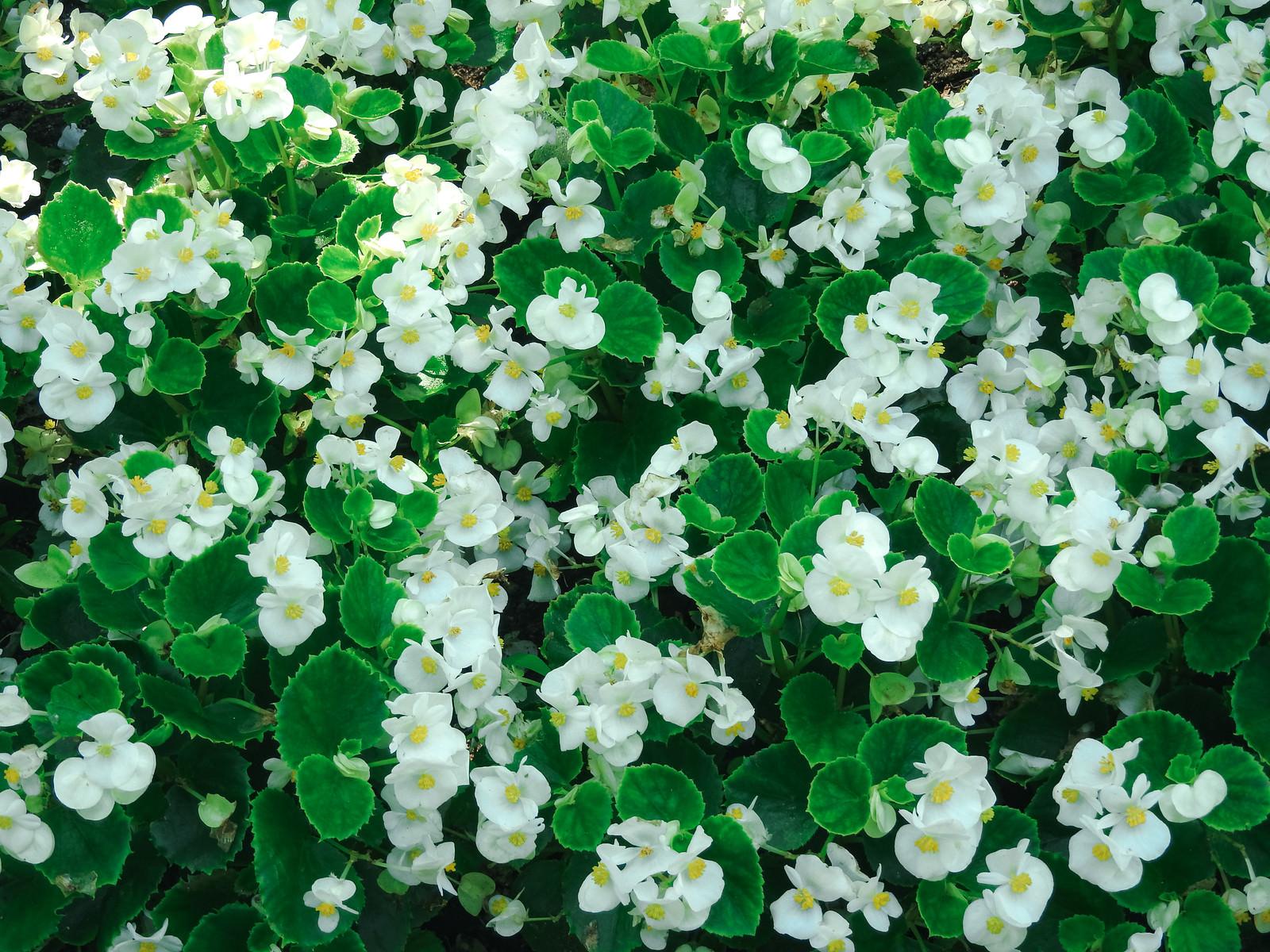 「咲き誇る白いベゴニア」の写真