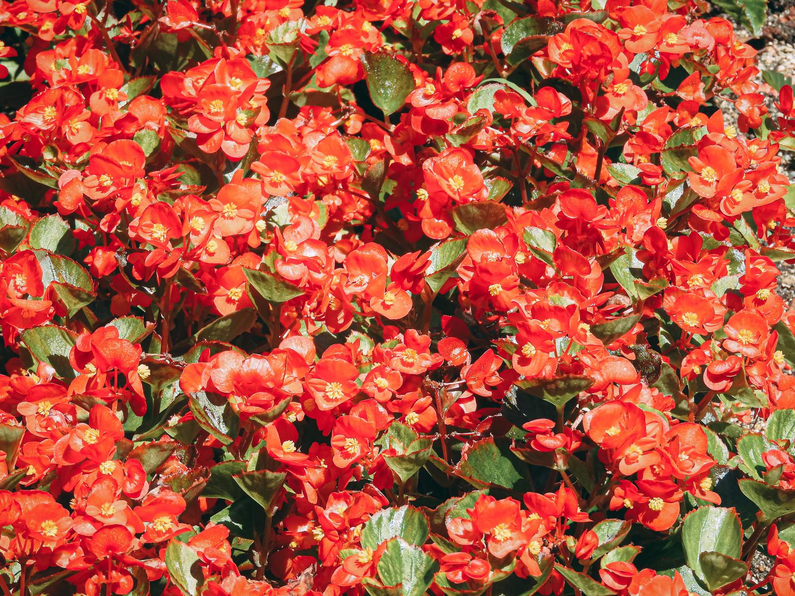 「一面に咲く赤いベゴニア」の写真