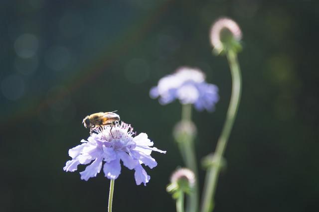 マツムシソウとミツバチの写真