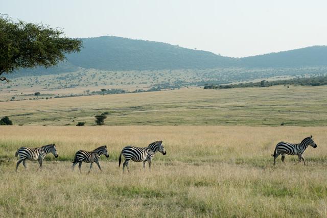 草原を歩くシマウマの家族