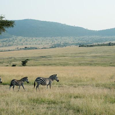 草原を歩くシマウマの家族の写真
