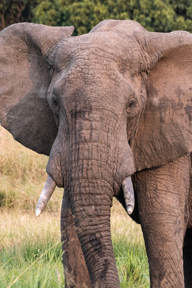 サファリパークの大型ゾウの写真