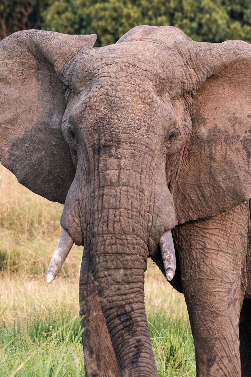「サファリパークの大型ゾウ」の写真