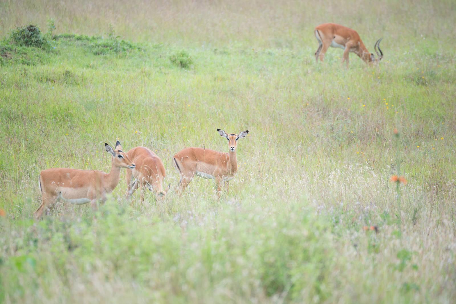 「周囲を警戒する野生のインパラの群れ」の写真