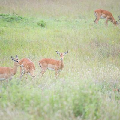周囲を警戒する野生のインパラの群れの写真