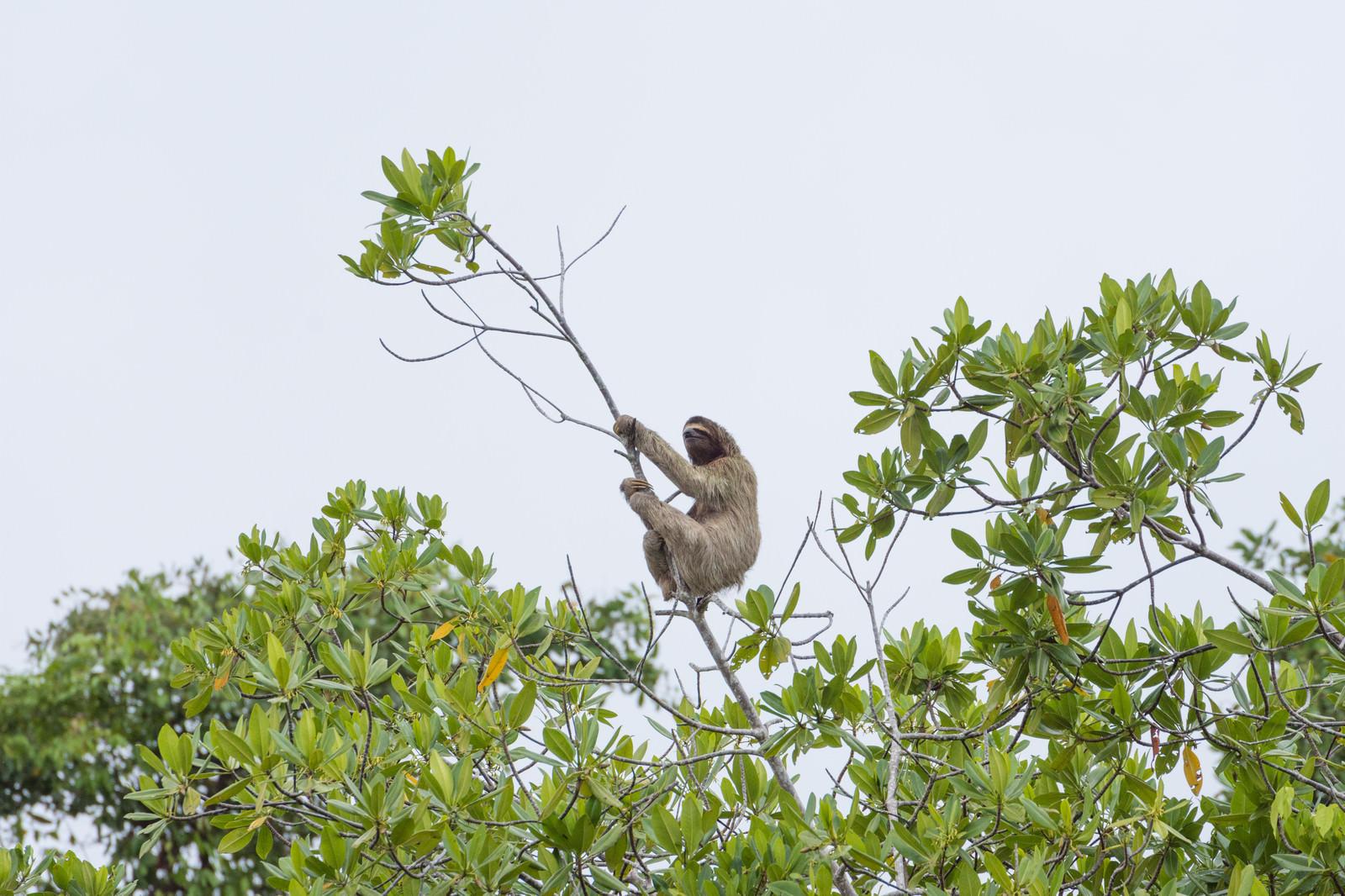 「木にぶら下がるナマケモノ」の写真