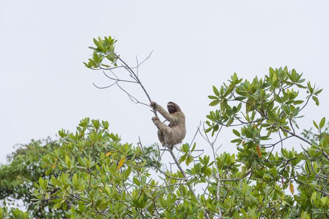木にぶら下がるナマケモノの写真