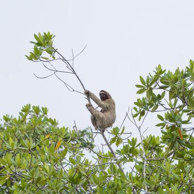 「木にぶら下がるナマケモノ」の写真素材
