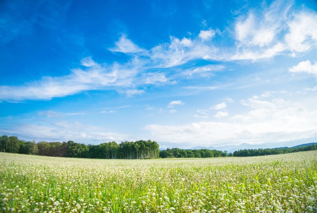 天気が良い空と一面のシロツメクサの写真