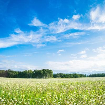 「天気が良い空と一面のシロツメクサ」の写真素材