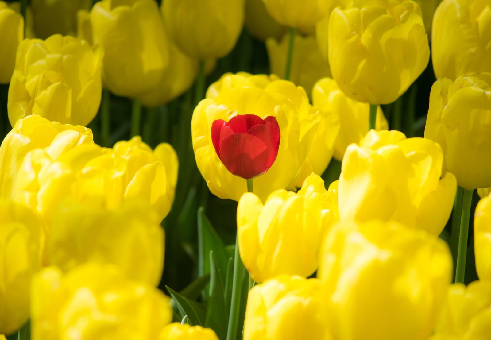 チューリップ 赤 黄色