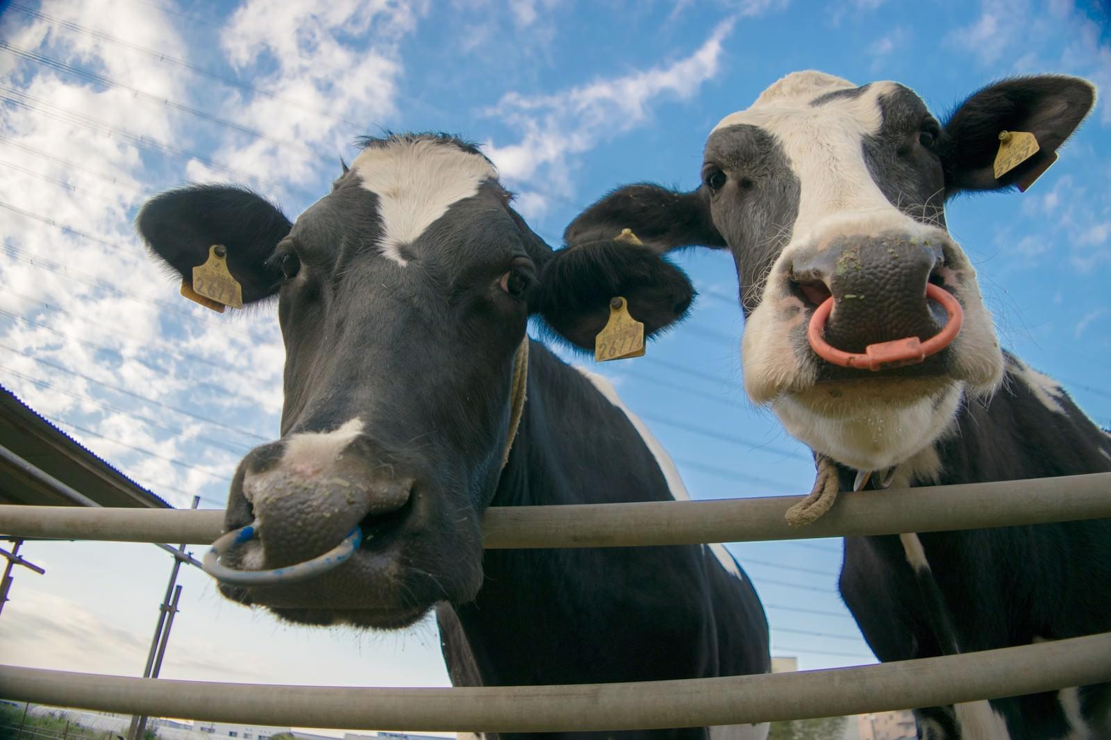 「牧場の牛さん(2頭)牧場の牛さん(2頭)」のフリー写真素材を拡大