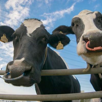 「牧場の牛さん(2頭)」の写真素材