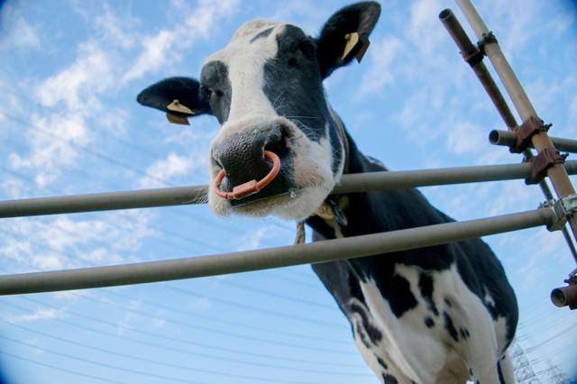 牧場の牛さんの写真