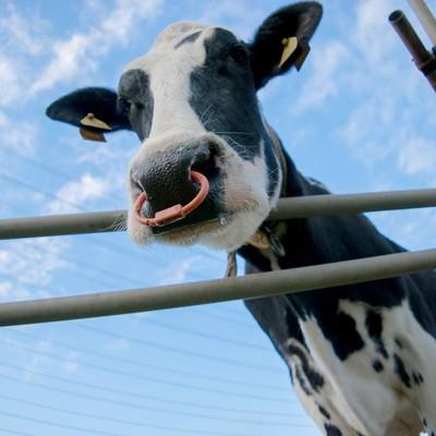 「牧場の牛さん」の写真素材