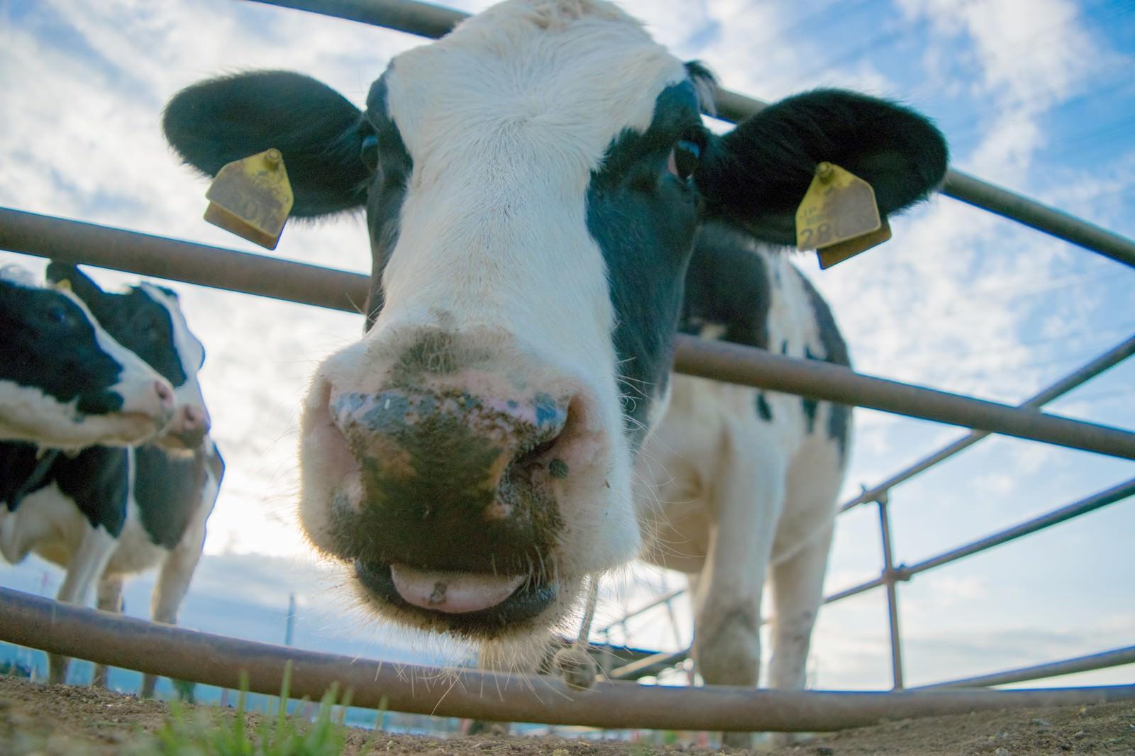 「牛接写牛接写」のフリー写真素材を拡大