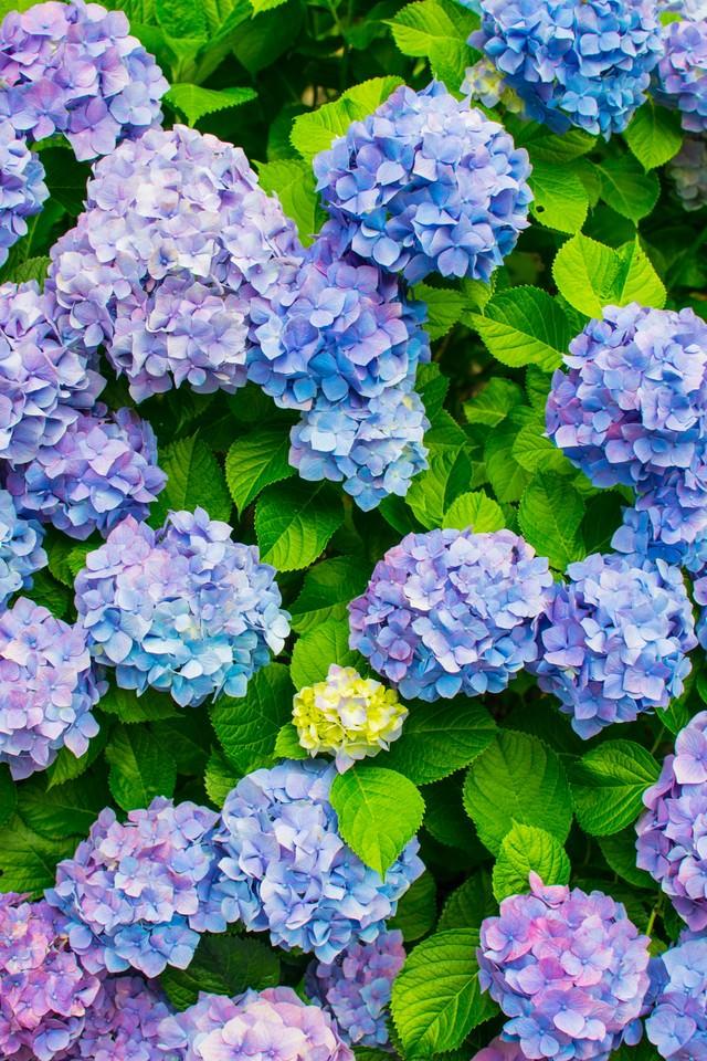 青色や紫色の入り混じる紫陽花の写真