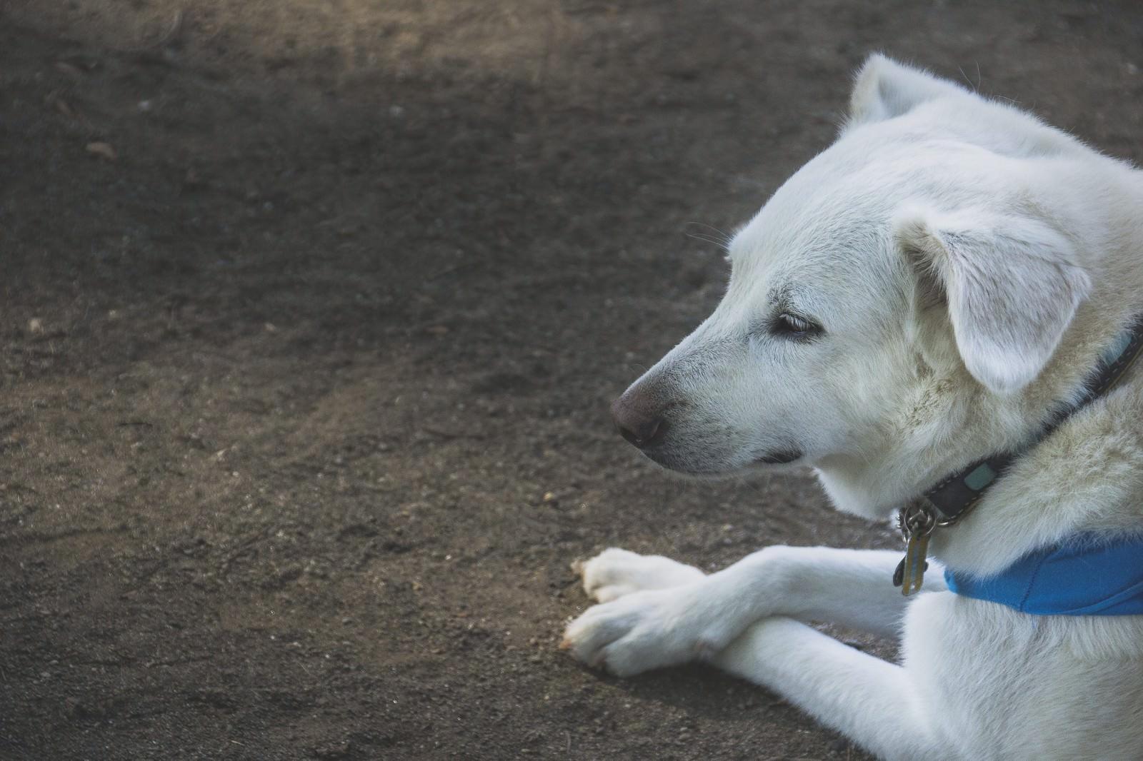 「パブロフを諦めた犬パブロフを諦めた犬」のフリー写真素材を拡大