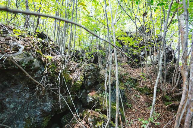 溶岩上に生える木々の写真