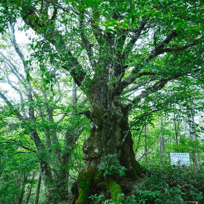 樹齢500年以上の万騎峠「大ブナの木」の写真