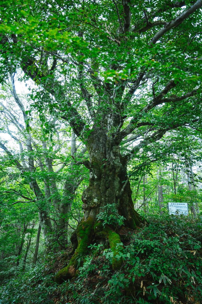 「樹齢500年以上の万騎峠「大ブナの木」」の写真