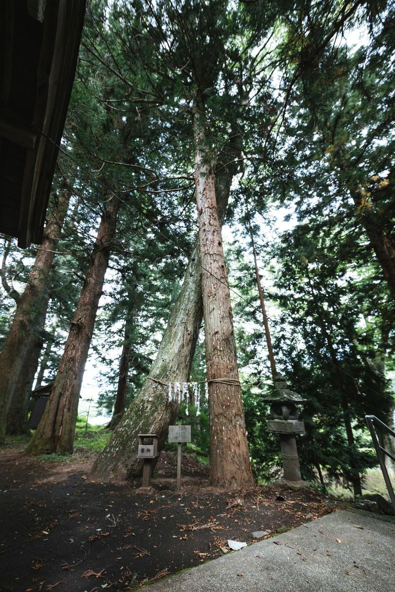 「縁結びの応桑諏訪神社(合体木)」の写真