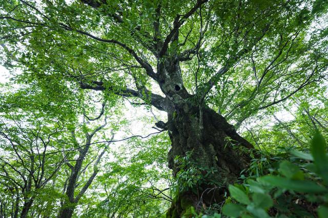 大ブナの古木の写真
